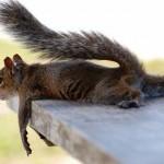 Squirrel relaxing